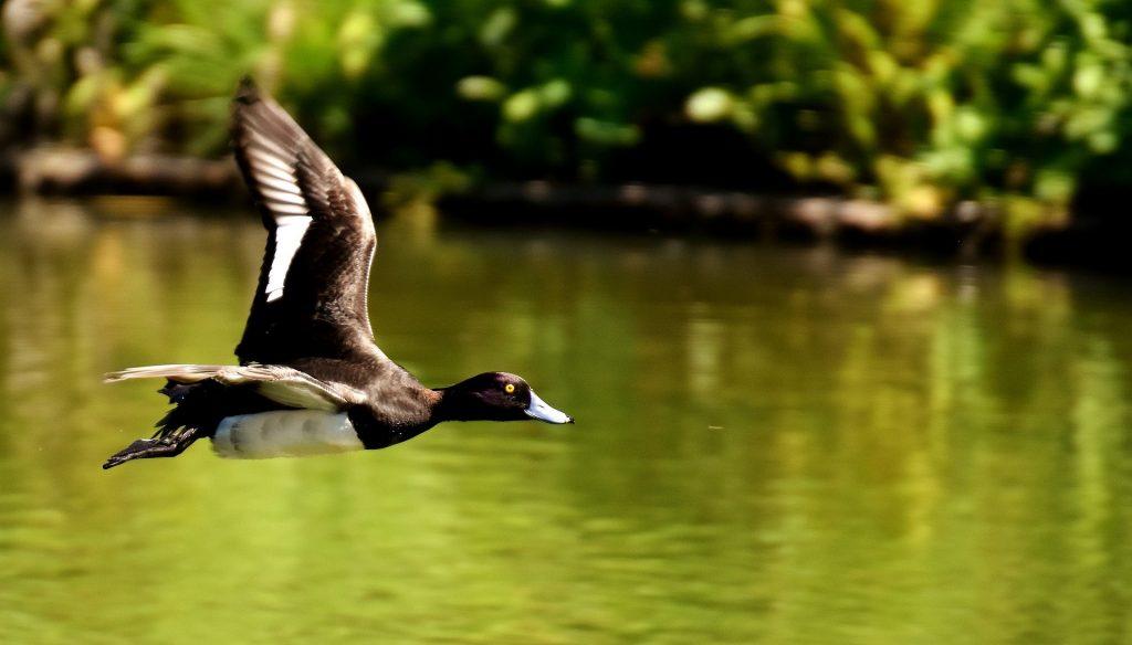 Bild Freizeit Wasservogelmonitoring am Ammersee