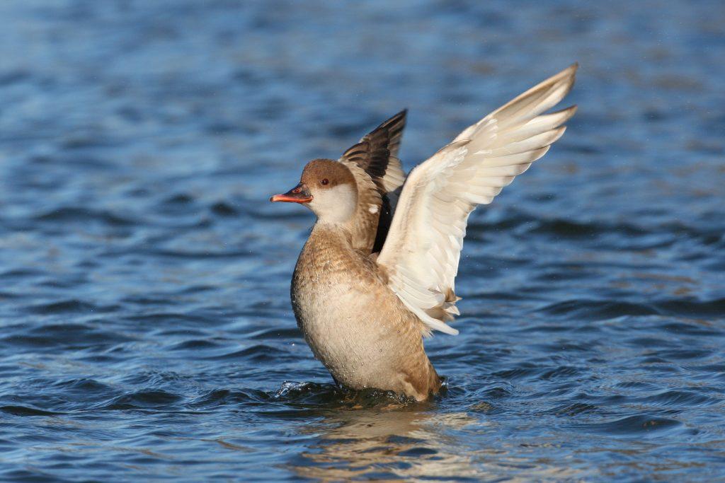Bild Freizeit Wasservogelbeobachtung am Ammersee