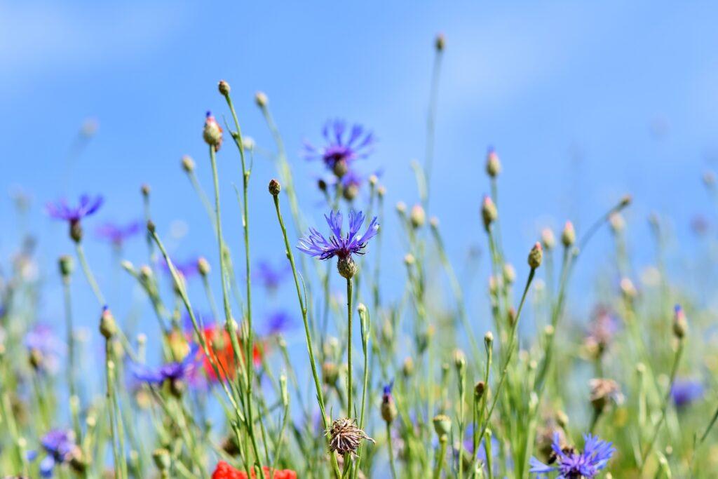Kornblumen in einer Blühwiese